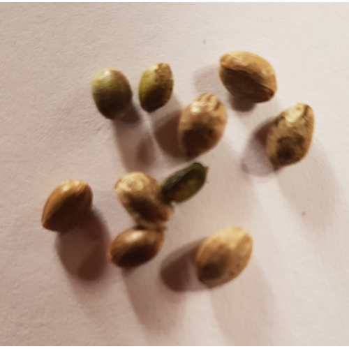 Santhica 70 (10 seeds)
