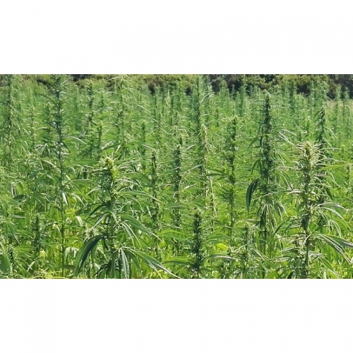 Certified Seeds Tiborszallasi (30 seeds)