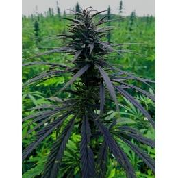 CannaMama Kanapių Cannabis Sativa Lapai 20g